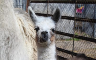 В Одесском зоопарке в присутствии посетителей неожиданно родился детеныш ламы
