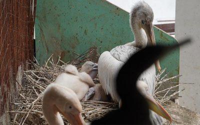 В Московском зоопарке кудрявые пеликаны стали родителями