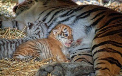 Бася показала тигрят!