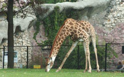 Истосковавшийся жираф Самсон после зимы вышел в открытый вольер