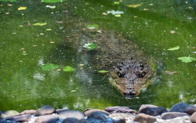 Как поймать крокодила?