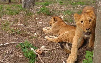 În interiorul volierei: leii au vârsta de 11 luni
