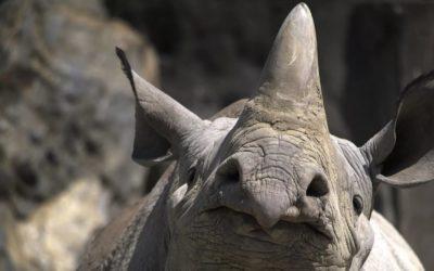 Un rinocer mic a fermecat internauții cu talentul său de actor