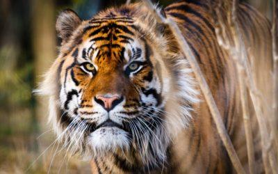 Редчайший суматранский тигр теперь живет в Эдинбурге