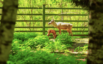 La Grădina Zoologică din Moscova s-au născut pui de reni, animale introduse în Cartea Roșie Internațională