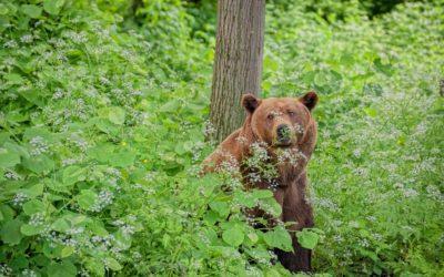 Машке — 36, Ворчуну — 32: Престарелые мишки Кишиневского зоопарка вдруг помолодели и скачут по деревьям, как медвежата