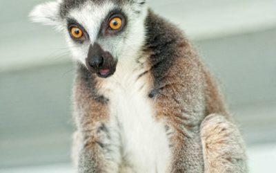 Как в Гродненском зоопарке лемуров знакомили