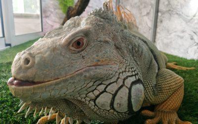 Iguanei Gosha i-au dăruit o casă nouă