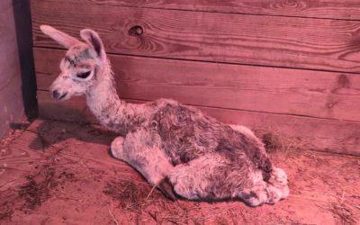 В зоопарке родилась лама