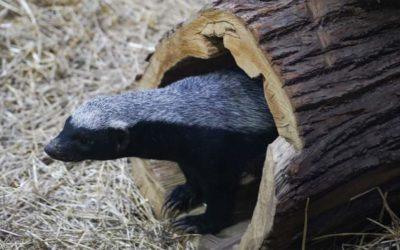 La Grădina Zoologică din orașul Moscova au apărut bursucii de miere.
